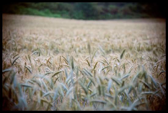 Champ de blé, Brocéliande