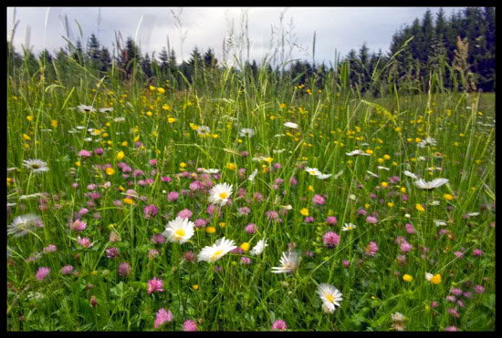 Champ de fleurs dans le massif des Bornes, Haute Savoie