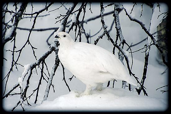 lagopède dans la neige