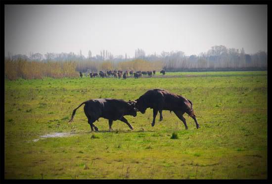 Combat de taureaux en Camargue